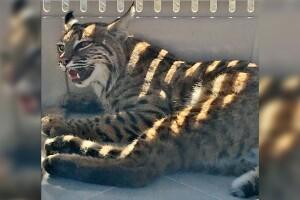 CPW Bobcat