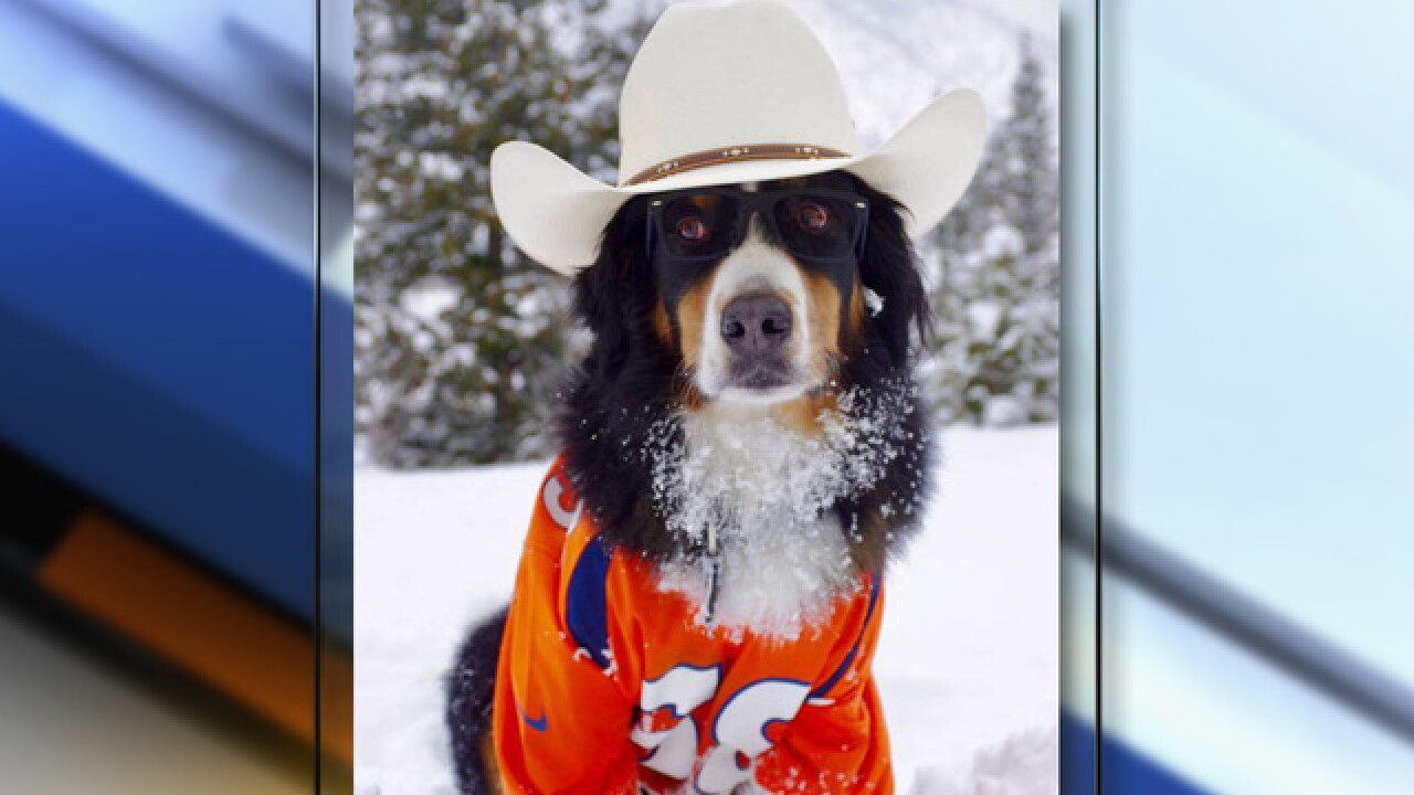 Toby the Bernese mountain dog, beloved Broncos and Loveland Ski Area pet, has died