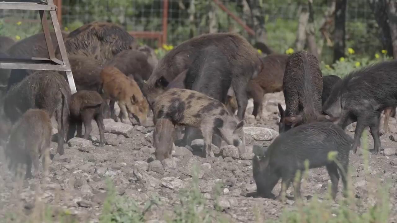 Feral Swine Pigs