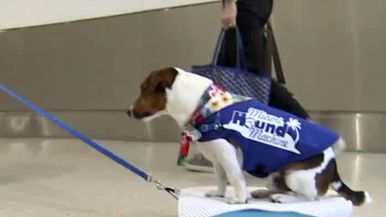 Therapy dogs to calm passengers at Miami International Airport
