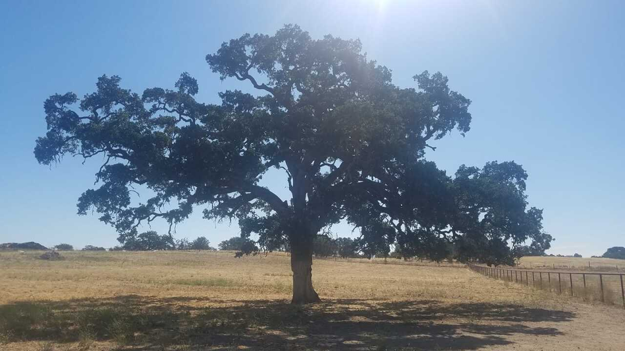 Paso Oak Tree