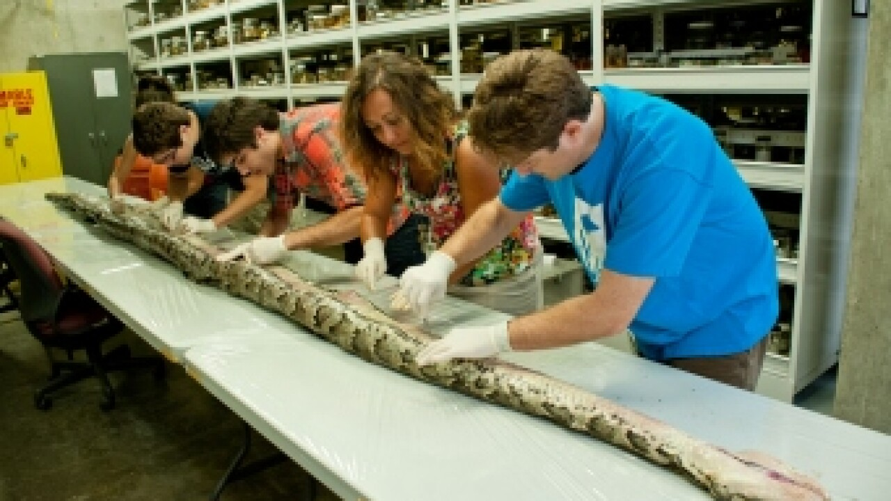 Scientists study largest Everglades Burmese python