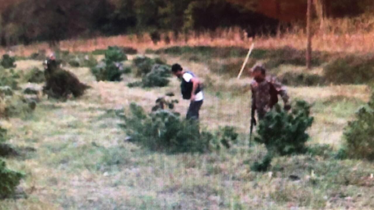 Man Chases Gun Wielding Hemp Thieves From Farm