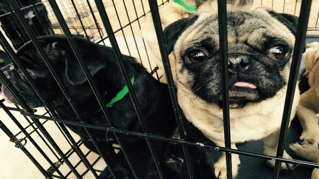 29 puppy mill pugs released to adoption network