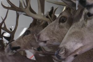 Horns and other wildlife artifacts to be auctioned in Billings
