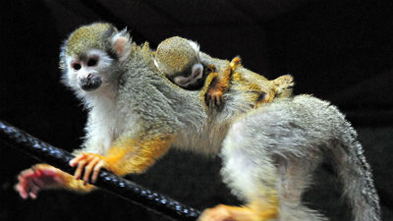 Madonna the squirrel monkey gives birth at the Virginia Zoo