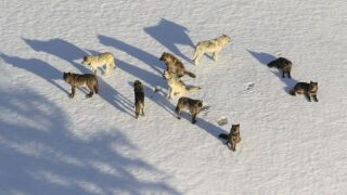 Junction Butte Pack photographed from a fixed-wing during wolf study NPS / Dan Stahler