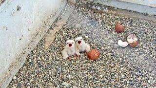 peregrine falcons.jpg