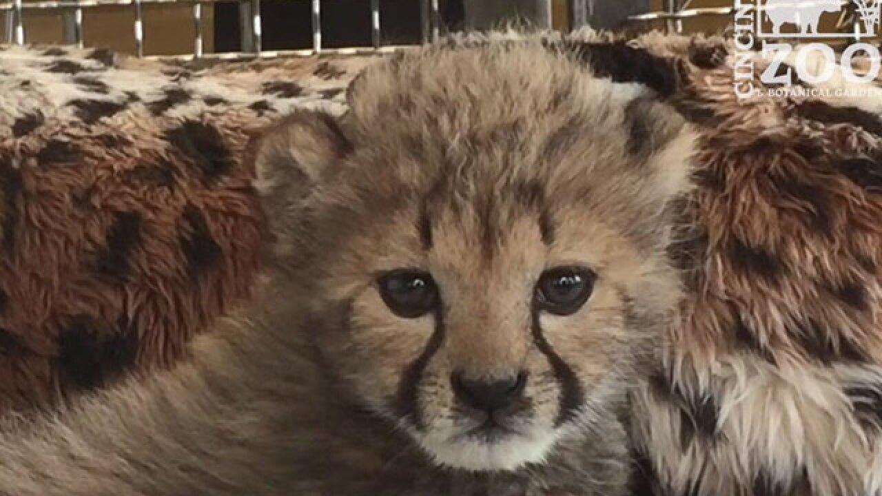 Oregon cheetah cub is homeward bound to Cincy