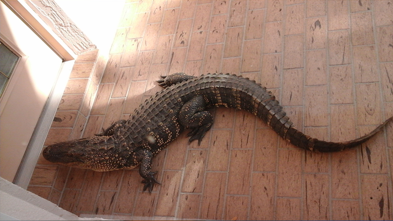Knock Knock Alligator Crawls Up To Front Door Of Lakeland Home