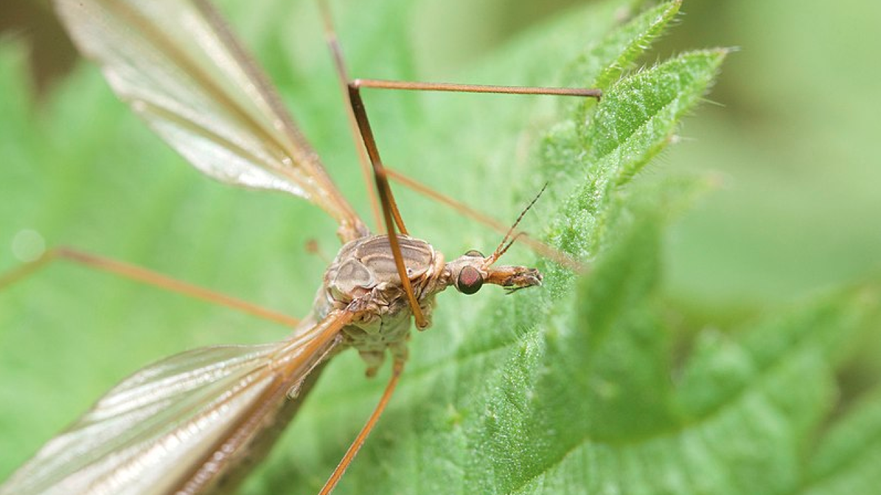 crane fly up close