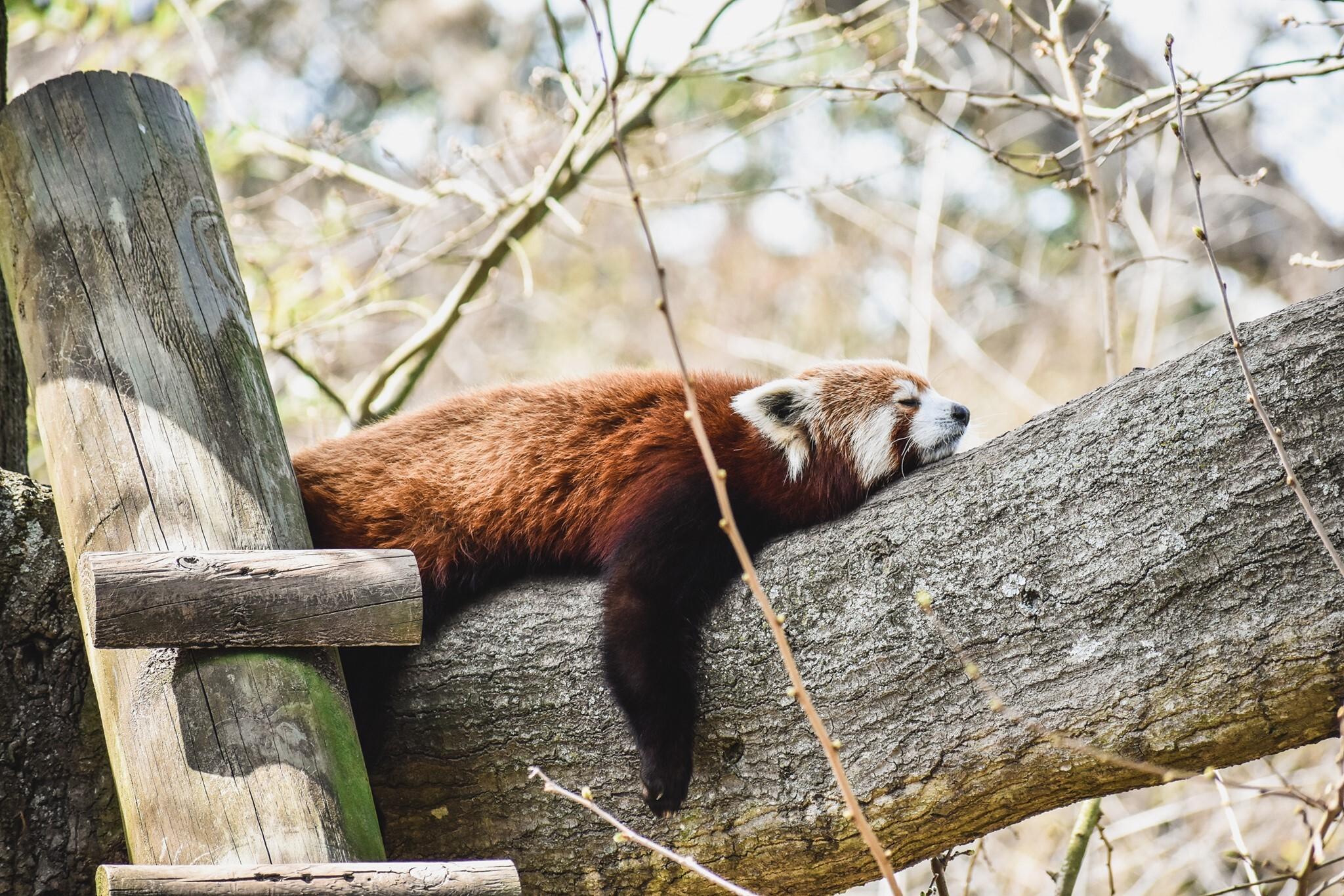 Photos: 3 red pandas at Virginia Zoo celebratebirthdays