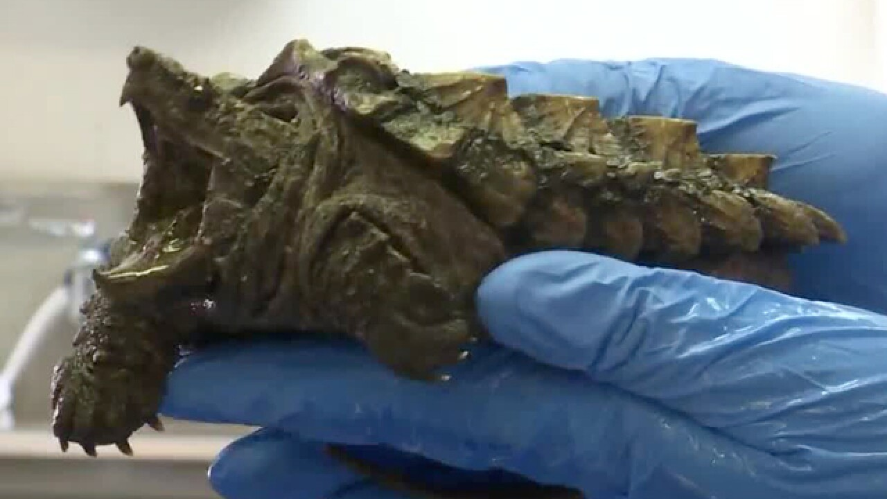 Conservationists At Nashville Zoo Trying To Save Tennessee Treasure: The Alligator Snapping Turtle