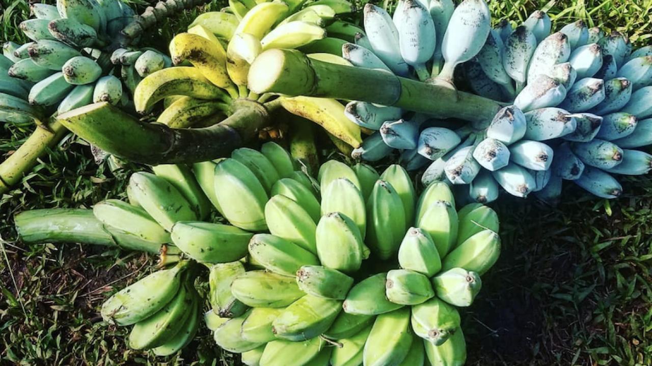 blue bananas 3.png