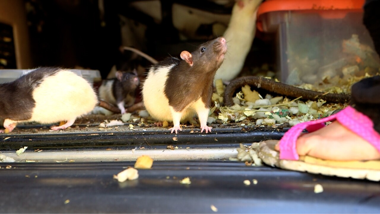 san diego humane society rats 2.jpg
