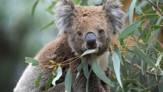 Koalas likely dying by hundreds as Australian wildfires tear across their habitat
