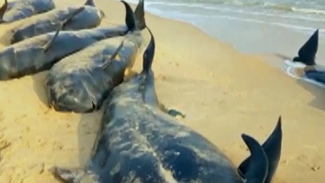 Dozens of disoriented pilot whales stranded on beach in India
