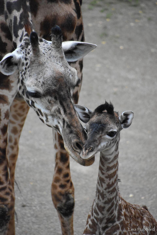 Baby giraffe Fennessy