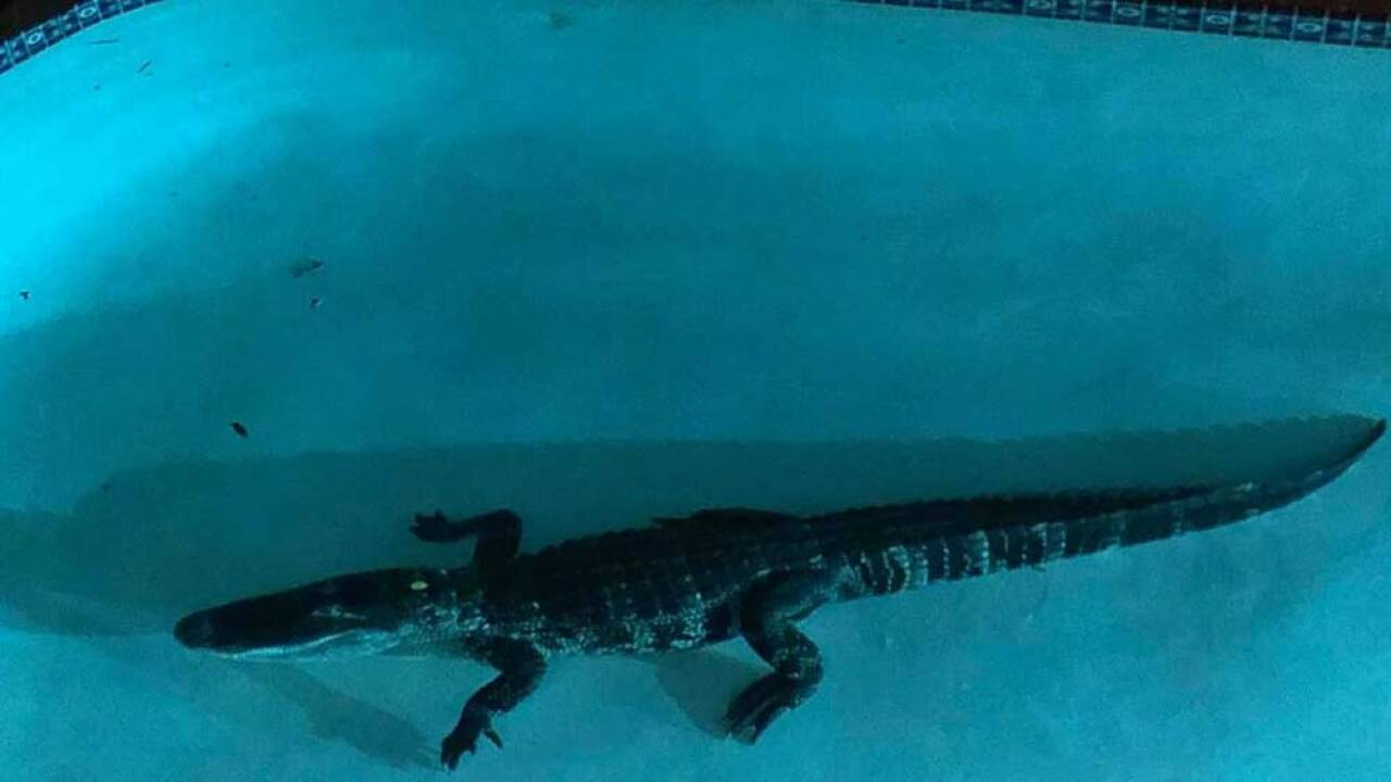 7-foot alligator discovered in Florida woman's swimming pool.