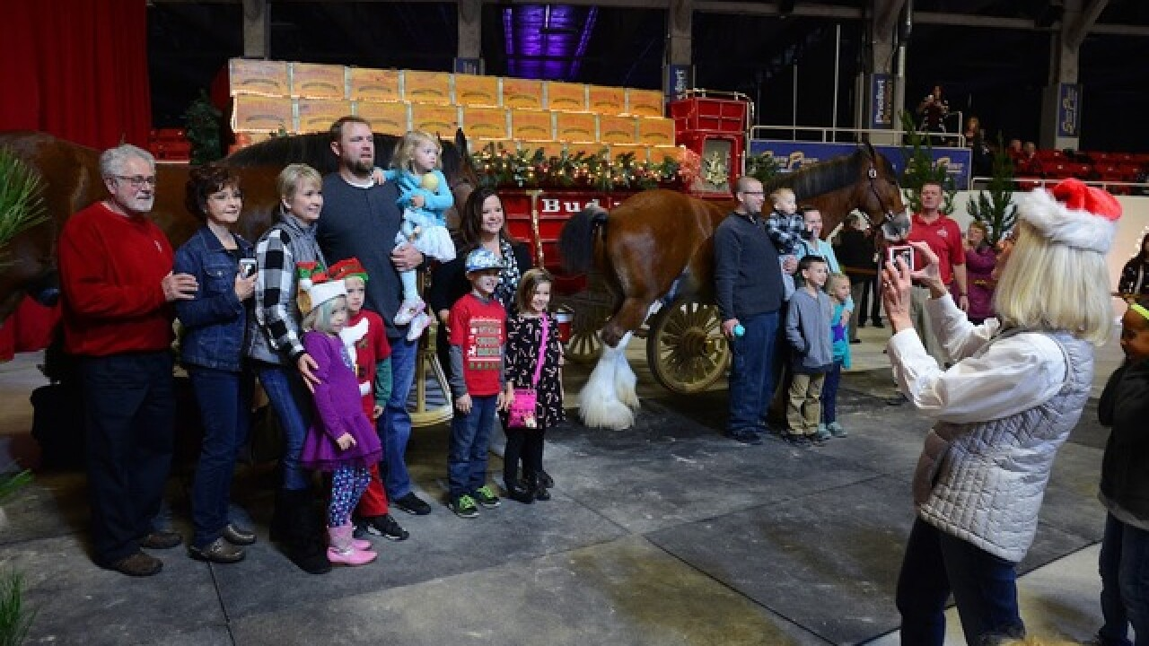 Budweiser Clydesdales visiting South Point