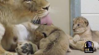 denver zoo lion cubs born in april 2020.png