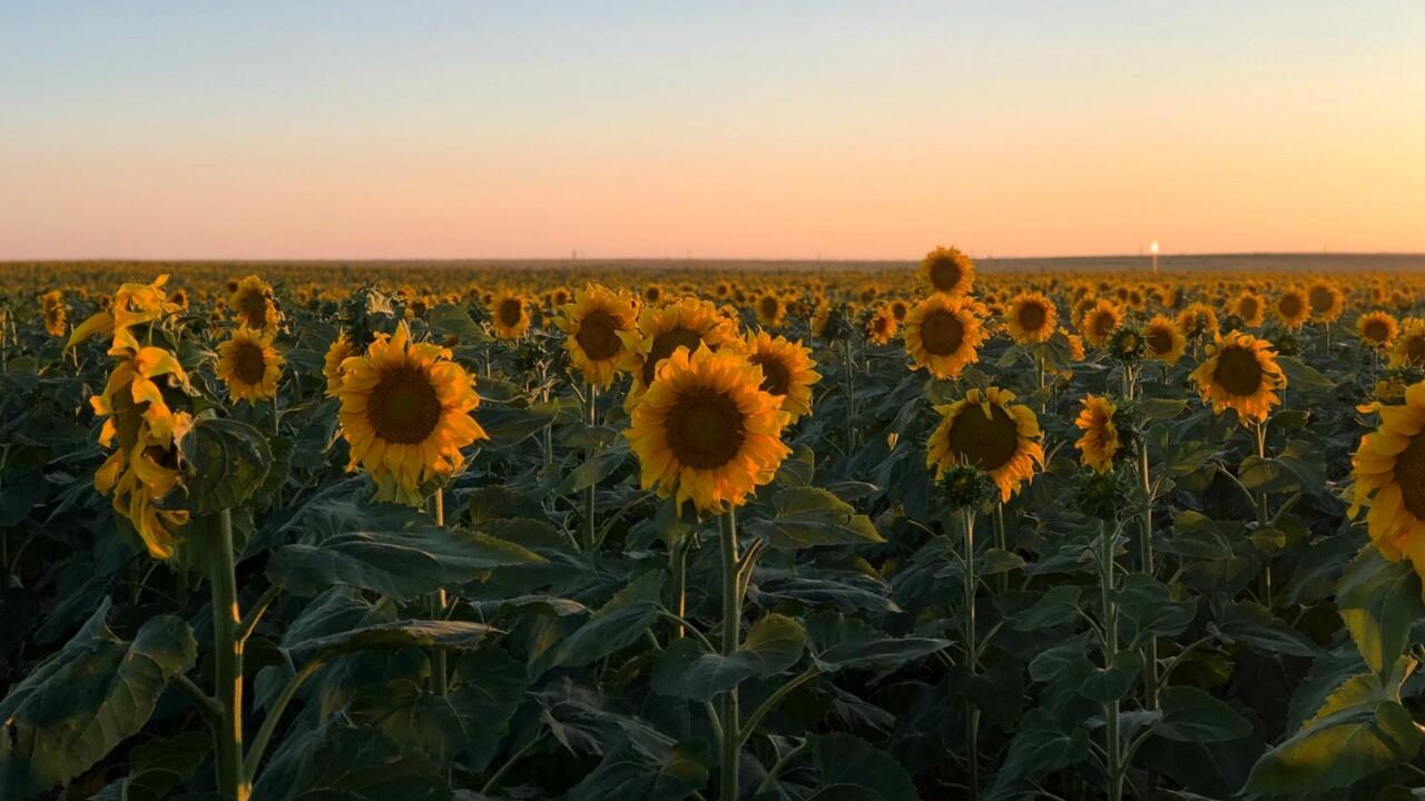 DIA Sunflower Field