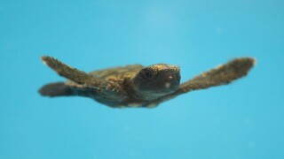 Baby turtles escape Irma's wrath with help from Georgia Aquarium