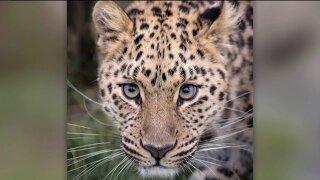 Escaped Hogle Zoo leopard described as criticallyendangered