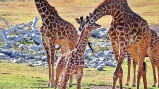 Moshi giraffe Phoenix Zoo