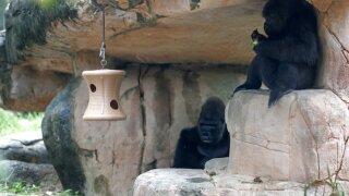 Pregnant Endangered Gorilla