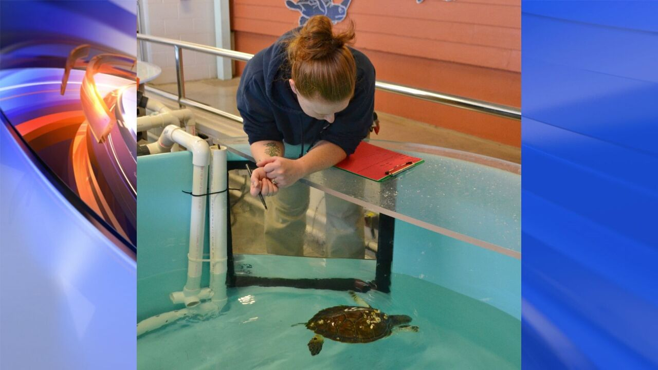 NC Aquarium cares for cold-stunned sea turtles