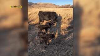 Montana Ag Network: Whitehall rancher welcomes rare triplet calves