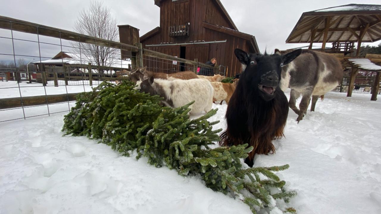 Goats eating christmas tree