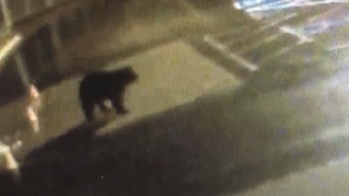 bear caught outside red rocks elementary school.PNG