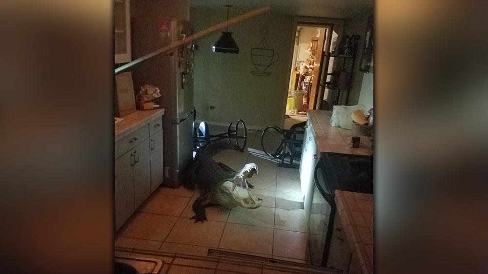 Alligator-in-kitchen.png
