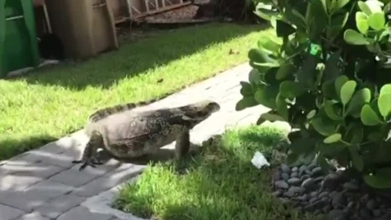Giant lizard spotted in Florida backyard