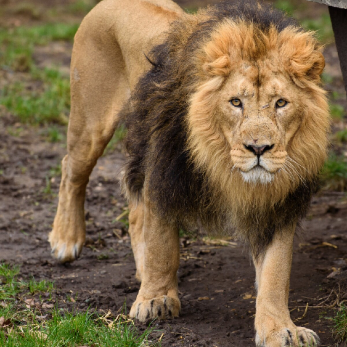 22 year old employee killed by lion that escaped enclosure at animal