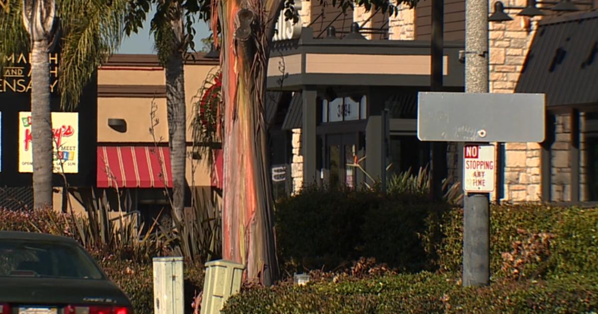 Rainbow Eucalyptus trees blooming across San Diego