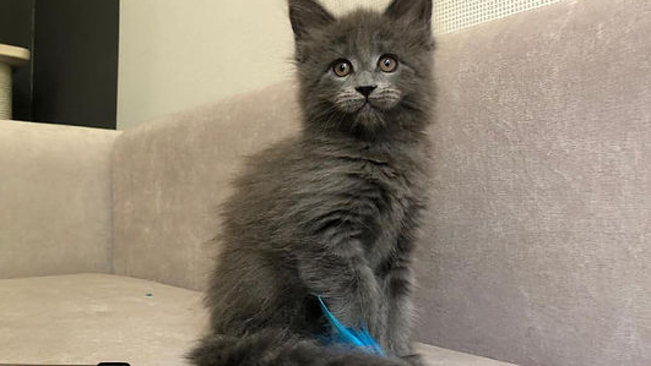 Cat sold online
