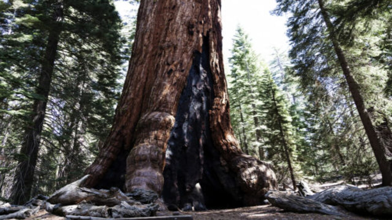 Most Of The 2,000-year-old Redwoods Have Survived The Wildfire In California's Oldest State Park