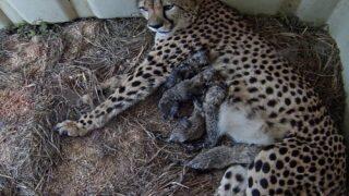 Cheetah Gave Birth To 5 Adorable Cubs At The National Zoo