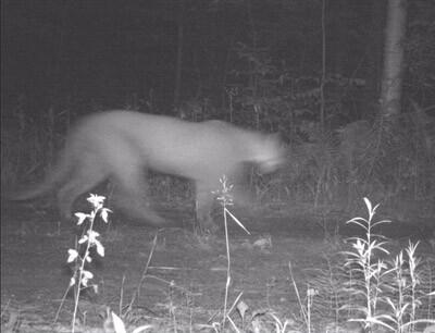 Cougar sighting July 12 2020.jpg