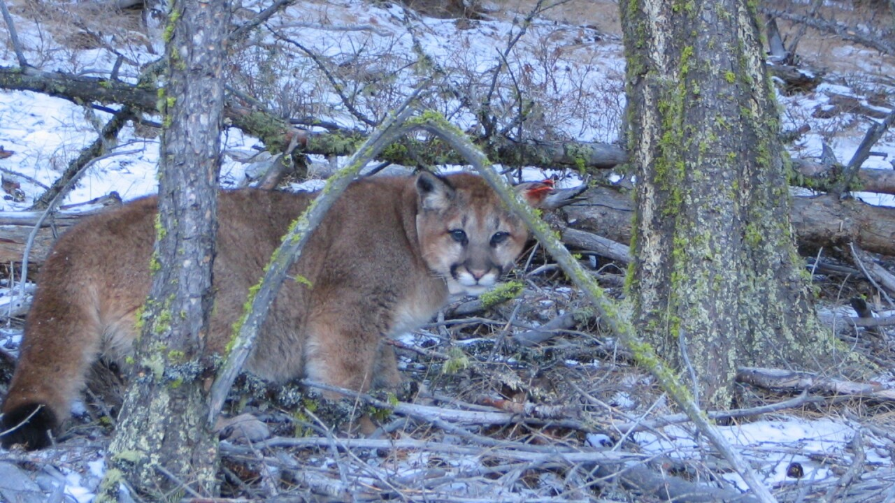 Mountain lion sightings reported in Missoula