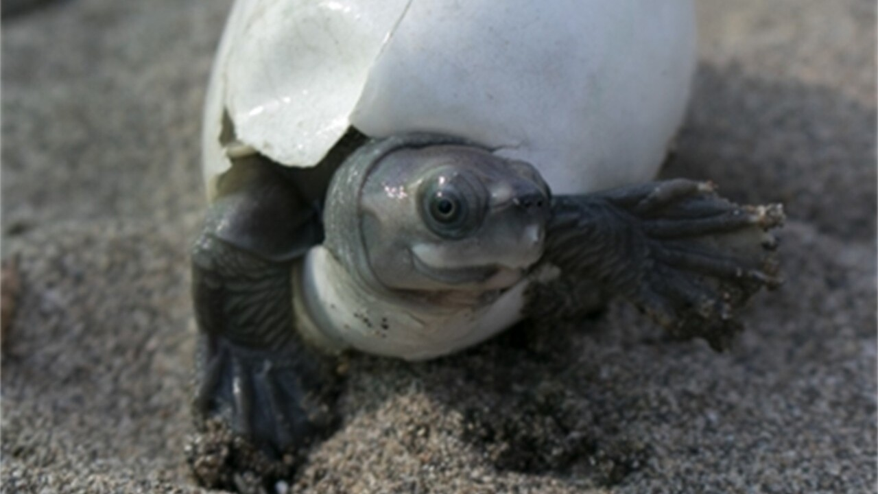 Turtles with permanent grins brought back from edge of extinction