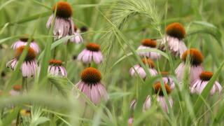Ohio native flowers plants