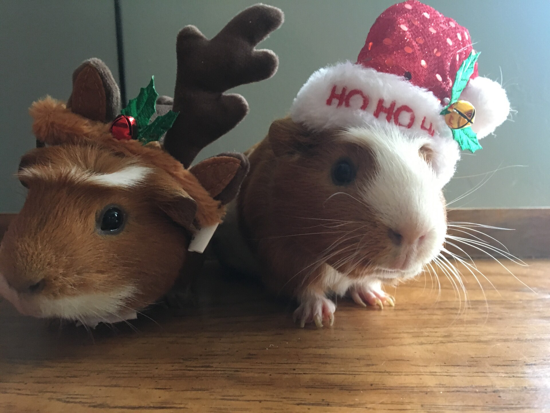 Guinea and Lex, our festive pigs 🎅🏻🦌