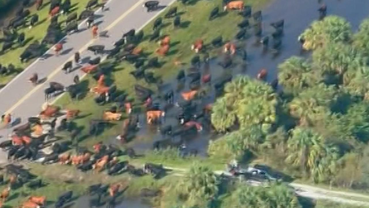 Okeechobee County ranch floods, cows at risk