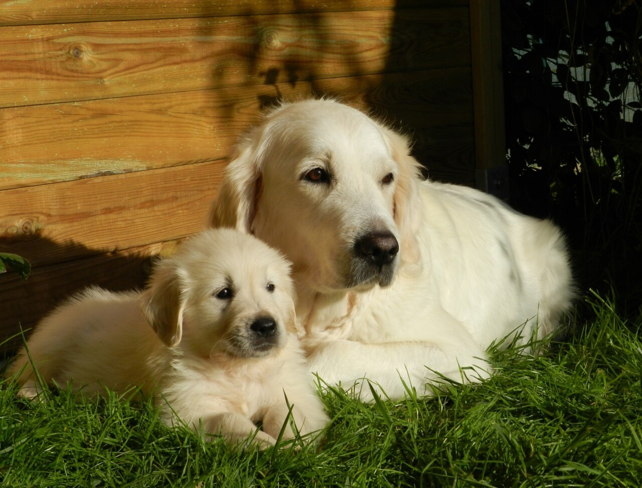Golden Retriever Dog and pup