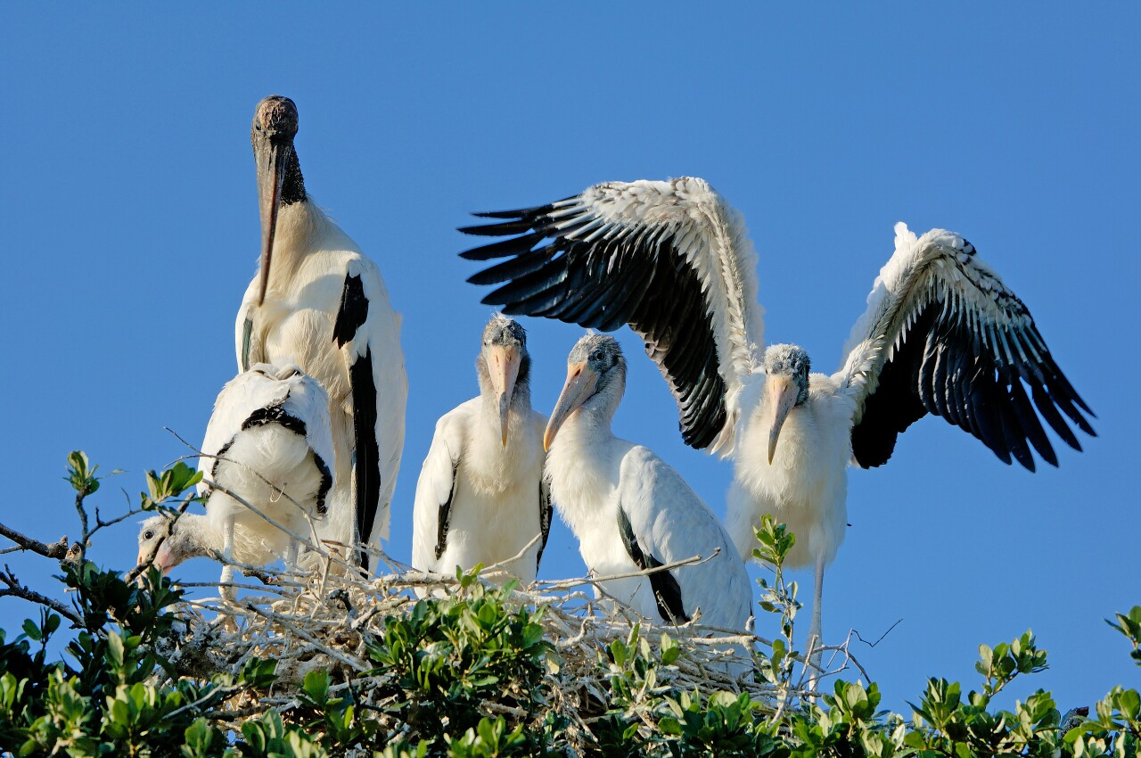 Photo of woodstork family at swamp sanctuary courtesy of RJ Wiley.