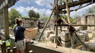 Zookeepers feeding the orangutans.